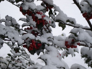 My holly bush with snow