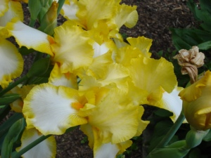 Yellow irises from my flower box