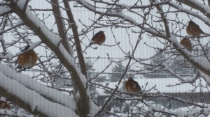robins and snow 1