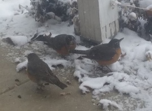 robins and snow 2