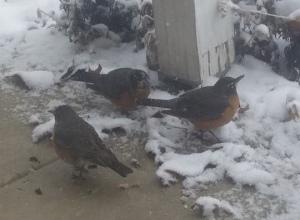 robins and snow 2